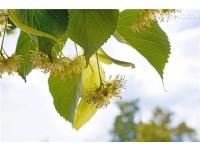 Tilia Flower Extract