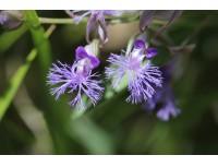 Polygala Sibirica Extract