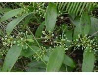 Sarsaparilla Root Extract