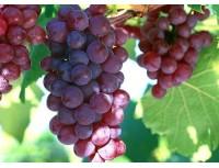 Grape SeedExtract